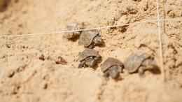 Hier tapsen Babyschildkröten zum ersten Mal ins Wasser