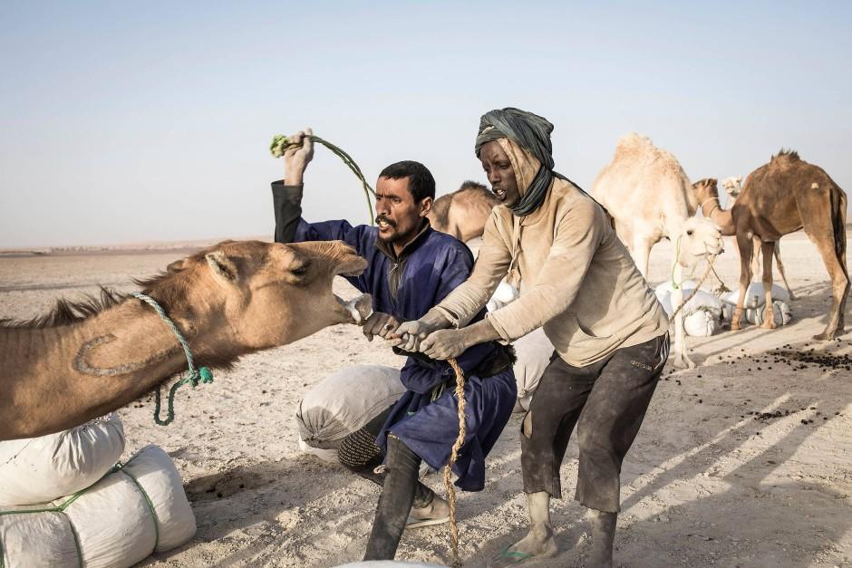 Zwei Männer zwingen ein Kamel zu Boden, damit es mit Salzsäcken beladen werden kann.