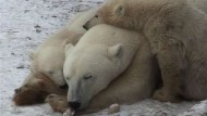 Bedrohte Eisbären