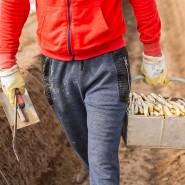 Praktikum in der Landwirtschaft: Studenten, die anpacken können, sind als Spargelstecher willkommen.