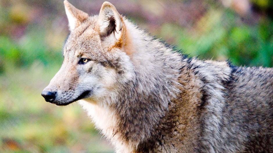 Unglück im Hanauer Wildpark: Ein Wolf ist im Gehege ertrunken (Archivbild).