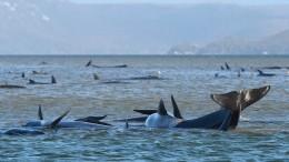 Dramatische Rettungsaktion für Hunderte Wale
