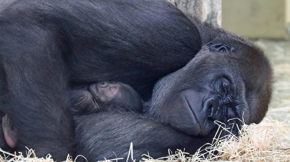 Berliner Zoo: Gorilla-Mutter Bibi hält ihr Jungtier im Arm.