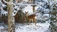 Heikle Situation: Bei extremem Schneeeinfall haben es vor allem die Kälber des Rotwildes schwer.