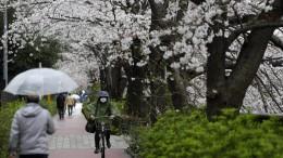 Japaner feiern Kirschblütenfest