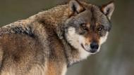 Ein Wolf steht in einem Gehege im Wildpark Neuhaus. In Hessen werden wieder vermehrt Wölfe gesichtet.