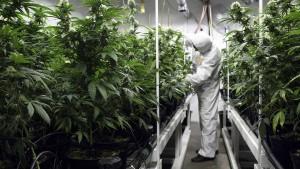 Bremer Senat will Cannabis-Modellversuch