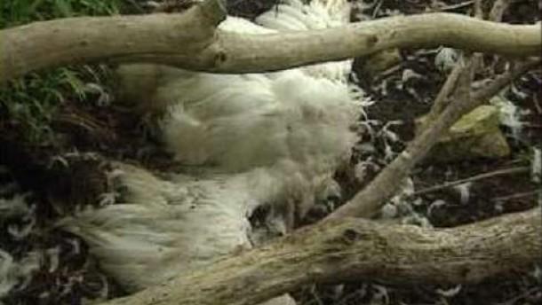 Vogelgrippe hat Frankreich erreicht