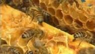 Bienenvölkern droht ein Massensterben
