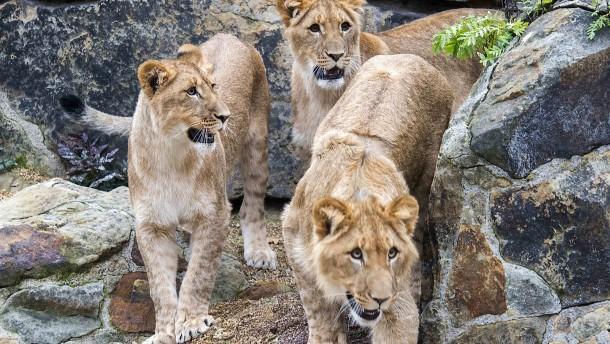 Löwen überleben Covid-19