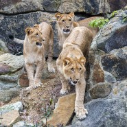 Im Zoo von Barcelona haben vier Löwen eine Coronavirus-Infektion ohne größere Komplikationen überstanden.
