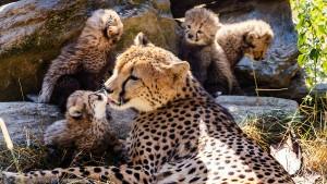Sechs Geparden-Babys im Opel-Zoo