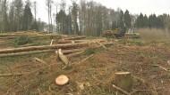 Weg damit: Die Stämme der gefällten Fichten werden verladen. Die Abnehmer des Holzes sitzen in China.
