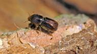 Kleiner Schädling: Ein Borkenkäfer kriecht über eine befallene Fichte.