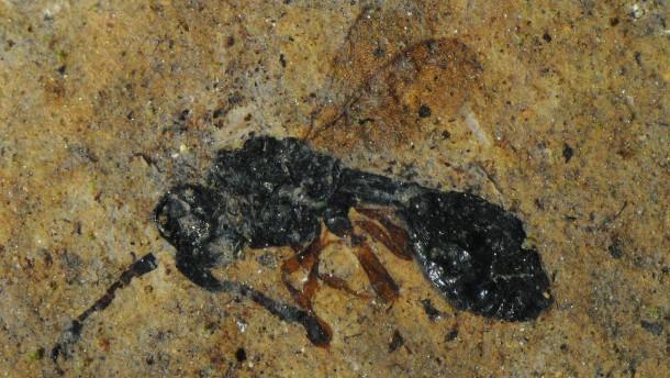 Seltenes Fossil einer parasitischen Wespe entdeckt