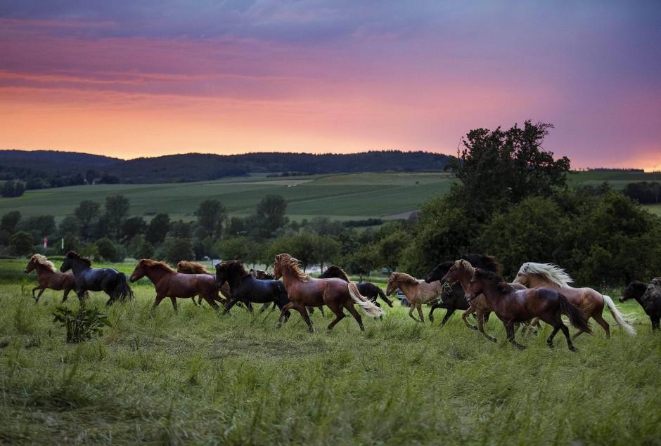 Wild wild Wehrheim: Islandpferde laufen auf ihrer Koppel in der Nähe von Frankfurt am Main.