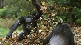 Wem gehört dieses Affengesicht?