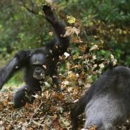 Erschwerte Bedingungen: Wenn Tiere wie diese Schimpansen im Blair Drummond Safari Park herumtollen, kommen selbst Experten schnell durcheinander.