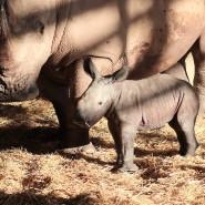 Die Nashorndame Marcita im Zoopark Erfurt mit ihrem kleinen Jungen.