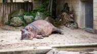 Eingepferchtes Nilpferd: Der Frankfurter Zoo braucht dringend neue Investitionen.
