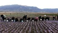 Jedes Jahr im Herbst färbt sich die karge Ebene nahe der iranischen Kleinstadt Torbat-e Hejdarije violett von den Blüten der Krokusse. Die Pflanze, aus der Safran gewonnen wird, blüht nur zehn Tage im Jahr.