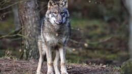Wer hat Angst vor dem großen Wolf?
