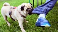 Eine Frage der Handlungsfähigkeit: Wenn der Hund zubeißt, wird das Herrchen oder Frauchen zur Verantwortung gezogen – nicht das Tier.