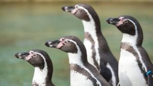 Wer klaut denn einen Pinguin?