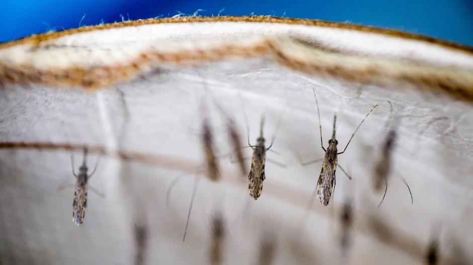 Mücken übertragen den tödlichen Erreger.