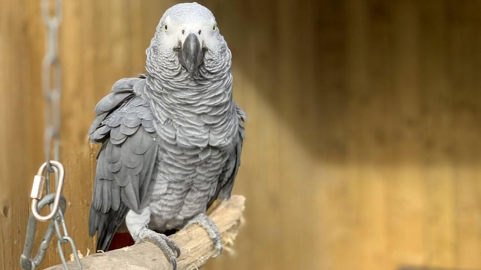 Einer der Übeltäter: Graupapageien müssen im Lincolnshire Wildlife Park von den Besuchern getrennt werden.