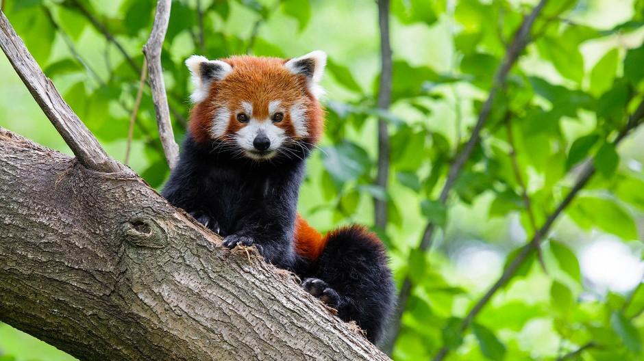 Immer noch vermisst: Seit Donnerstagmorgen sucht der Duisburger Zoo nach dem kleinen Roten Panda Jang.