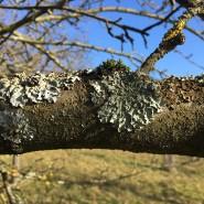 """""""Luftgüteanzeiger"""": Flechten an einem Baum auf einer Streuobstwiese am Berger Hang in Frankfurt"""