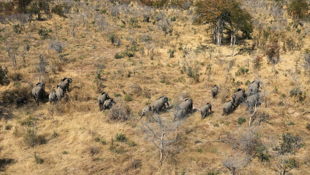Hunderte Elefanten sterben durch Cyanobakterien
