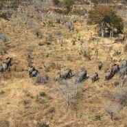 Brauchen viel Wasser: Elefantenherde im Okawangodelta