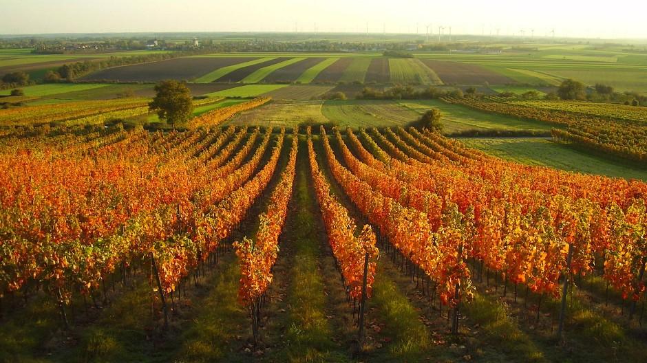 Rebzeilen in Carnuntum: Das Anbaugebiet in Niederösterreich gehört zu den kleinen und eher unbekannten Weinregionen Österreichs.