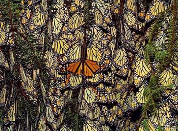 Monarchfalter erscheinen oft in Massen.