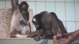 Nachwuchs bei den Klammeraffen im Frankfurter Zoo