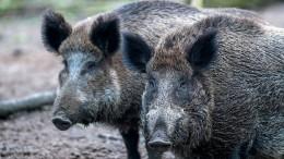 Der Albtraum der Schweinezüchter rückt näher