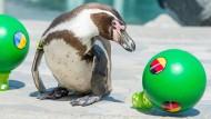 Der Orakel-Pinguin Flocke durfte auch schon einmal Verlobungsringe überbringen.