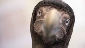 Der Dodo kehrt zurück