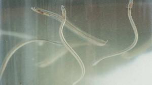 Zollfahnder heben Schmuggelzentrum für Glasaale aus