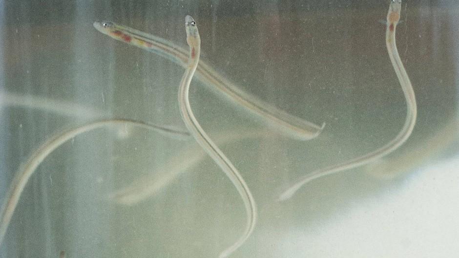 In Asien werden den Glasaalen potenzsteigernde Eigenschaften zugesprochen.