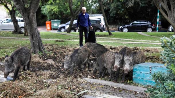 Wildschweine machen Haifa unsicher