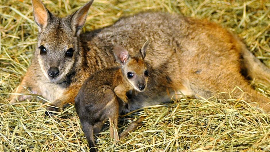Frisch aus dem Beutel: Das Tammar-Wallaby blickt scheu in die Kamera.