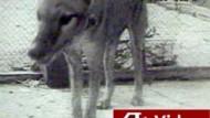 Die letzten Bilder des ausgestorbenen Beutelwolfs