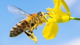 """""""Man darf die Wildbienen nicht vergessen"""""""