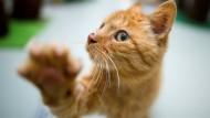 Will doch nur spielen: Viele Katzenbesitzer setzen die Tiere aus, wenn sie lästig werden (Symbolbild).