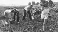 So war's einmal: Kartoffellese als Ferienjob in Südhessen zu Beginn der achtziger Jahre