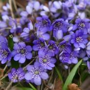 Lila Blüten im braunen Laub: Leberblümchen sind schlicht, dicht an dicht haben sie jedoch eine beeindruckende Wirkung.