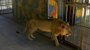 Abgemagerte Zoo-Löwen sorgen für Empörung